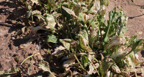 L'armée pulvérise des herbicides le long de la frontière de Gaza, détruisant les cultures sur 200 hectares dans - AGRICULTURE - METIERS LIES A LA TERRE Epinards-e1489427276517