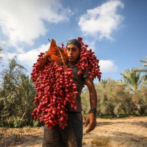 Les paysans de Gaza ont des dattes, mais nulle part où les vendre